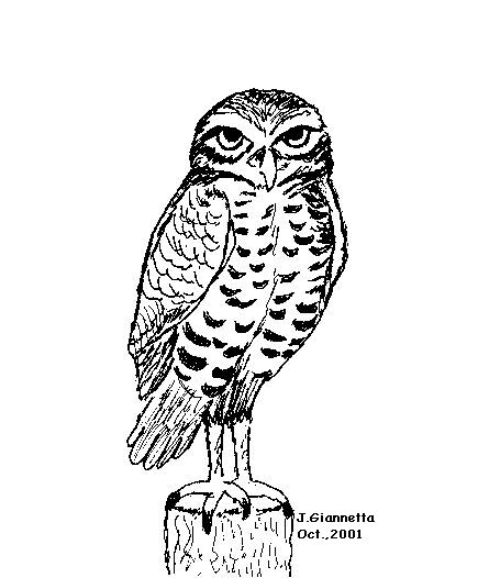 Drawing Of A Burrowing Owl
