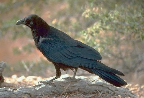 Common Raven or Northern Raven (corvus corax)