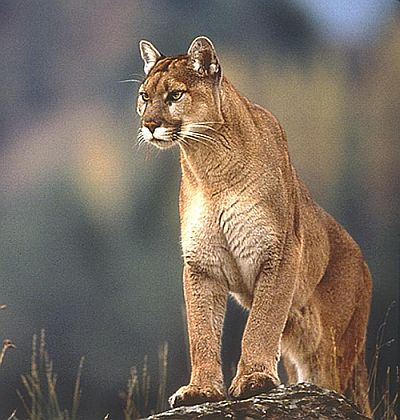 canadian animals facts cougar also known as mountain lion puma