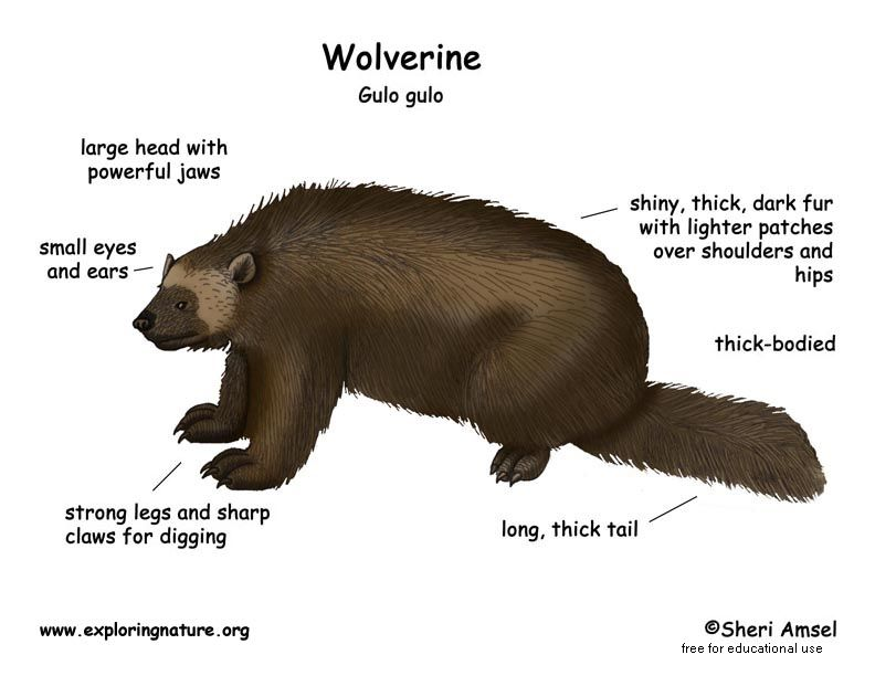 The Wolverine Largest Member Of The Weasel Family