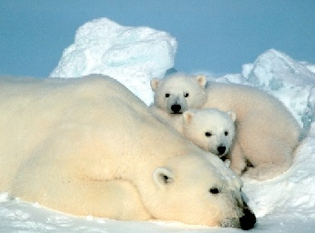 ARCTIC ANIMALS - adaptations for survival on the Arctic tundra and ...